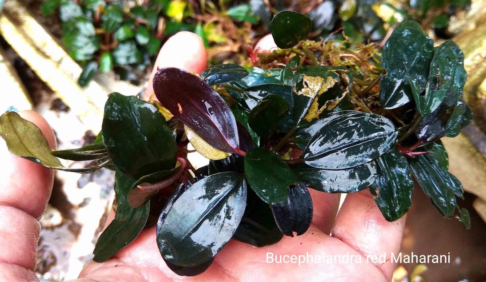 Bucephalandra red maharani