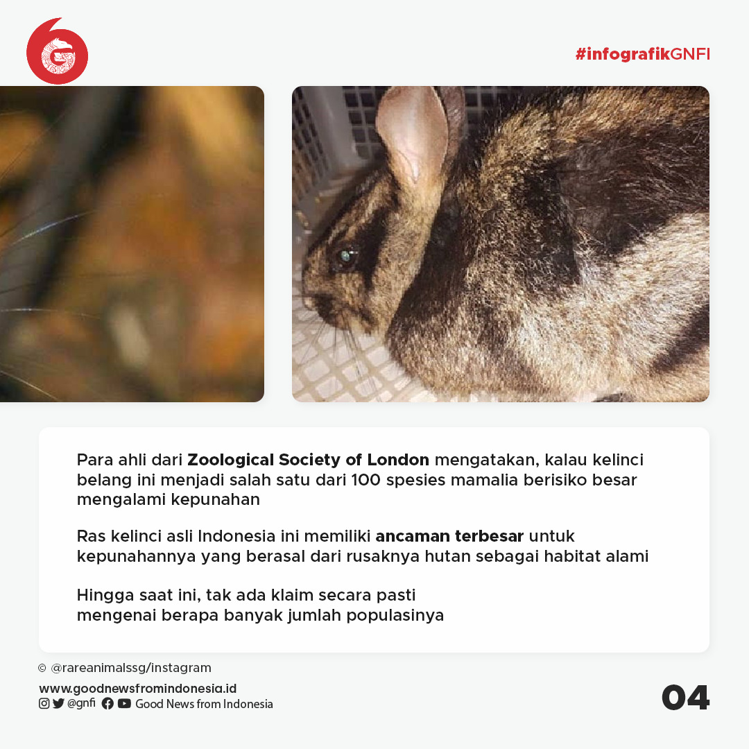 Kelinci Belang Sumatra yang Diselamatkan dari Perdagangan Gelap