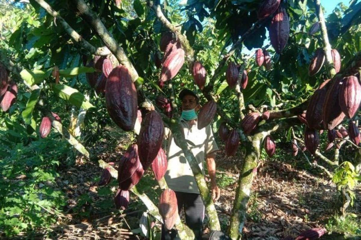 Produksi Kakao Sultra Meningkat!