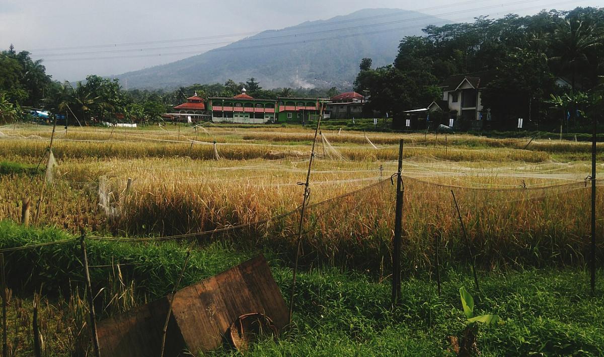 Panen Raya, Stok Pangan Indonesia Melimpah Jelang Bulan Ramadan