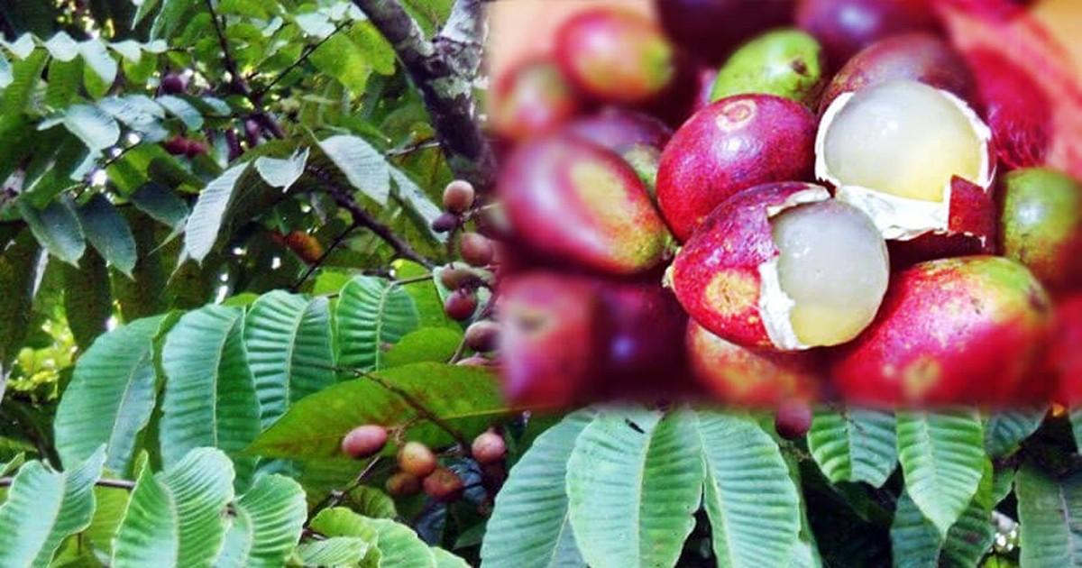 Beraromakan Durian dan Memiliki Rasa Seperti Lengkeng, Buah Apakah Itu?