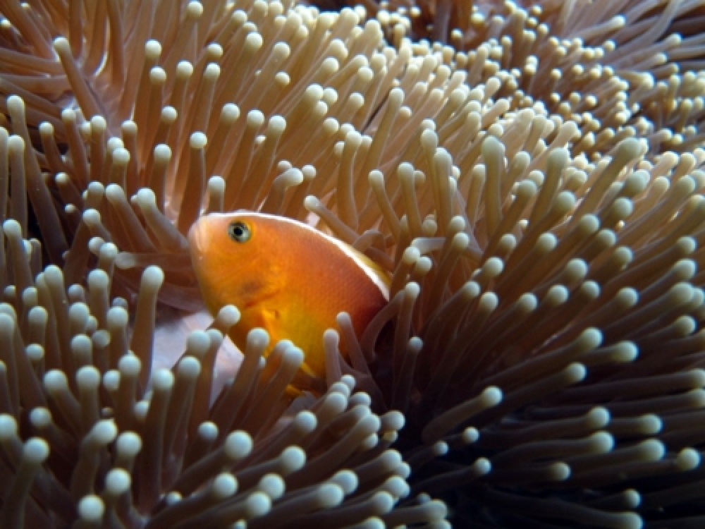 365Indonesia Day 29 - Nemo a. k. a. Clown Fish in Biawak Island, Indramayu, West Java