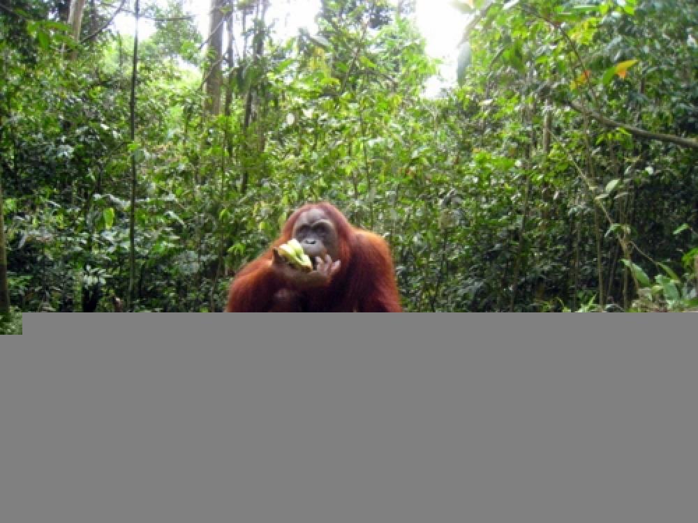 365Indonesia Hari 17: Orangutan di Bukit Lawang, Sumatera Utara