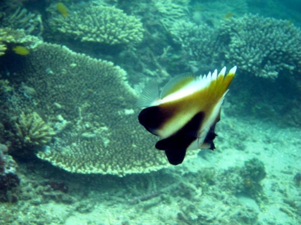 365Indonesia Hari 5: Ikan Kupu - Kupu di Perairan Teluk Kiluan, Lampung