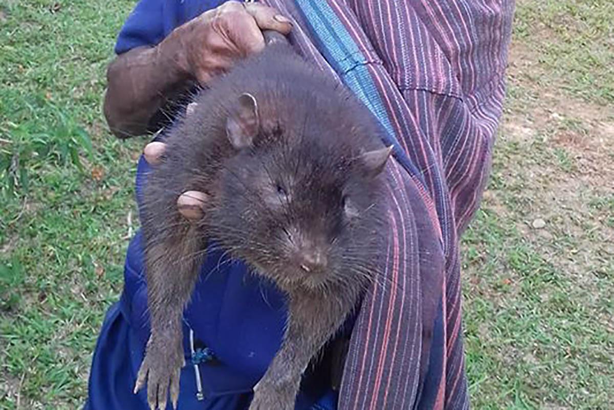 Jenis Tikus Raksasa Ini Masih Ada dan Hidup di Rimba Flores