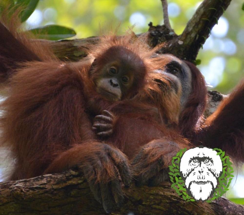 Suaq Belimbing, Stasiun Khusus Penelitian Orangutan Sumatera
