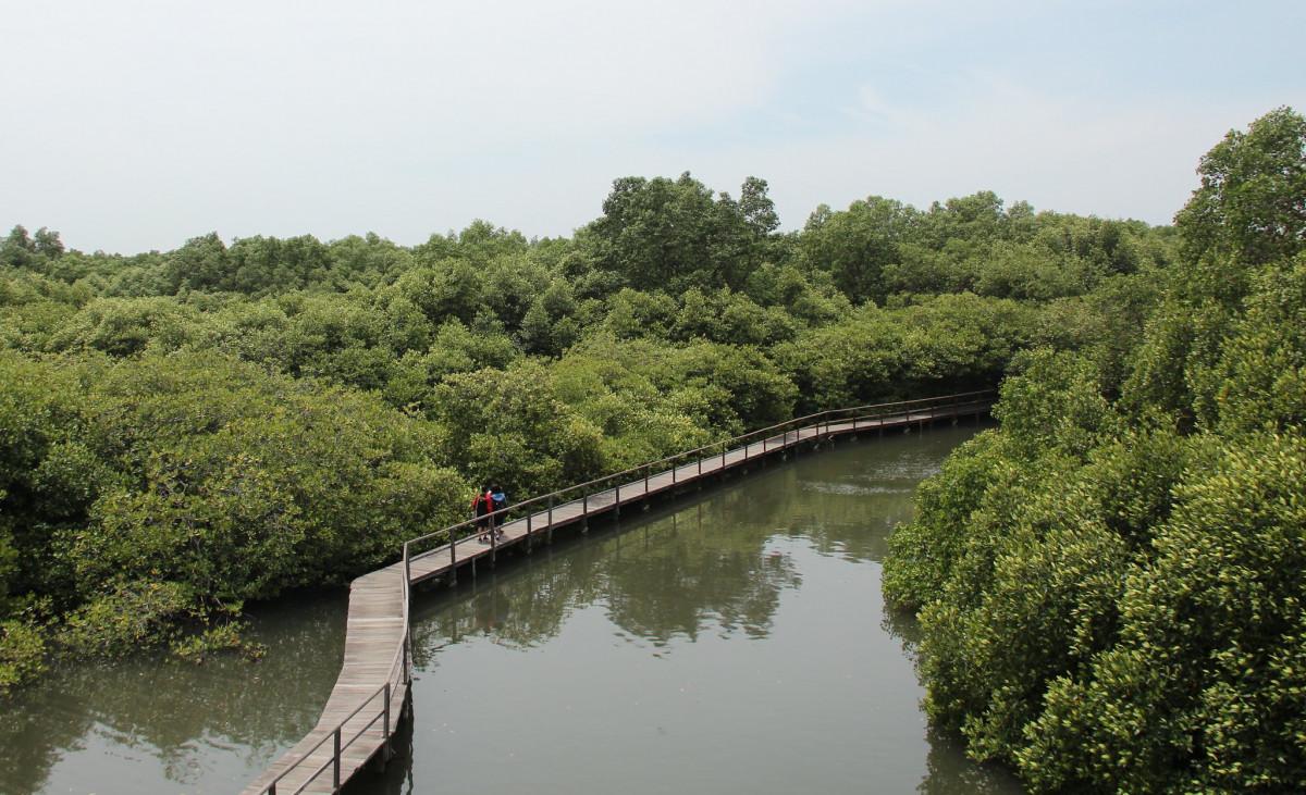 Rehabilitasi Hutan Bakau Semarang, Upaya Penyelamatan jadi Destinasi Wisata Edukasi