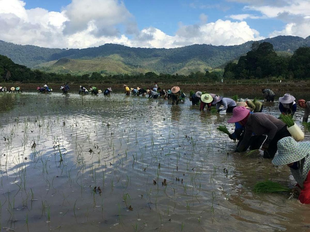 Keunggulan Adan, Beras Organik dari Tapal Batas Kalimantan yang Populer di Negeri Tetangga