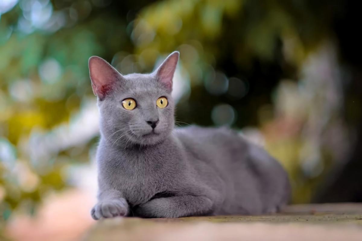 Namanya Busok, Kucing Leopard dari Madura yang Ingin Diakui Dunia