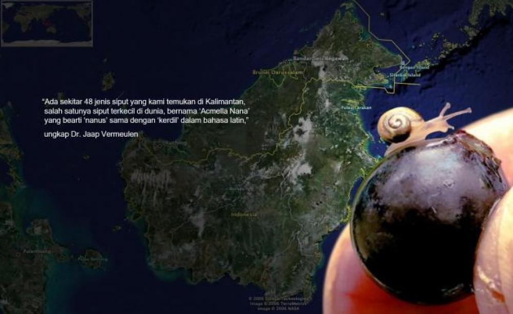 Acmella Nana, Siput Terkecil Dunia dari Borneo