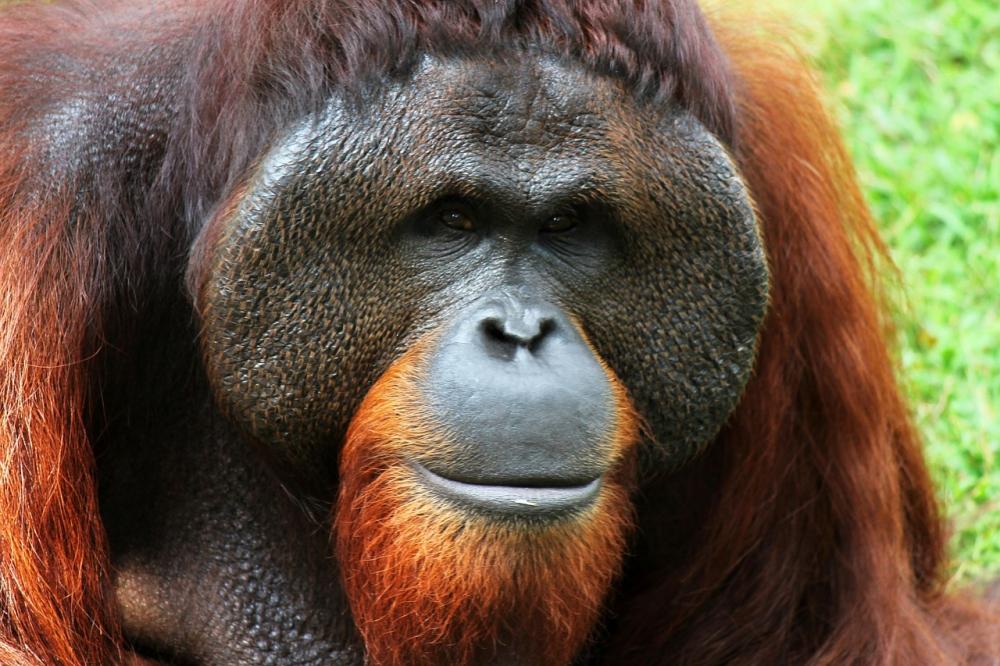 Aktivis Penyelamat Orangutan Mendapat Penghargaan dari Inggris