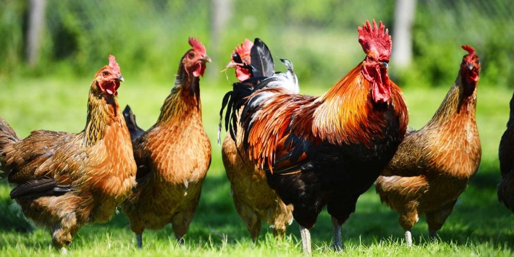 Ayam-ayam Eksotis Indonesia Ini Harganya Selangit