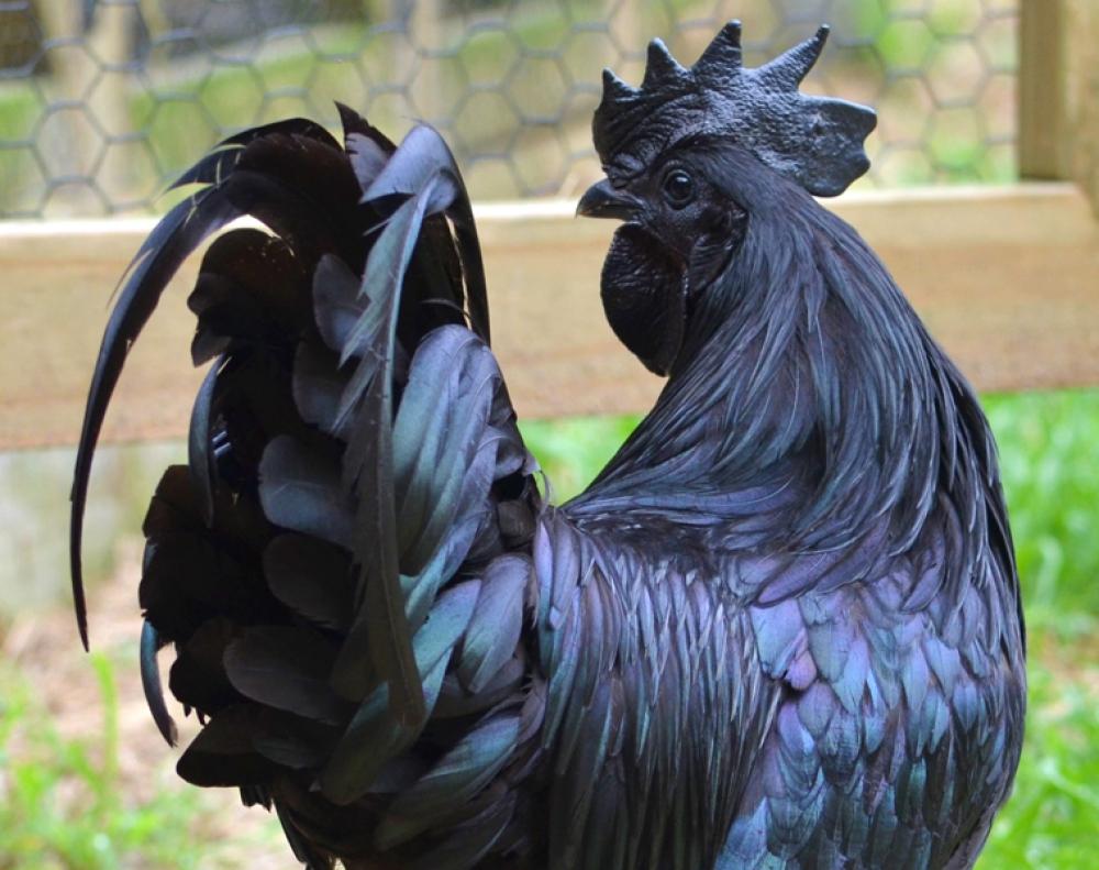 Ayam Hitam Legam Asli Indonesia ini Jadi Tren di Amerika Serikat