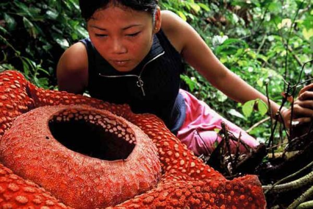Banyak Yang Salah Sangka Rafflesia Bukanlah Bunga Bangkai