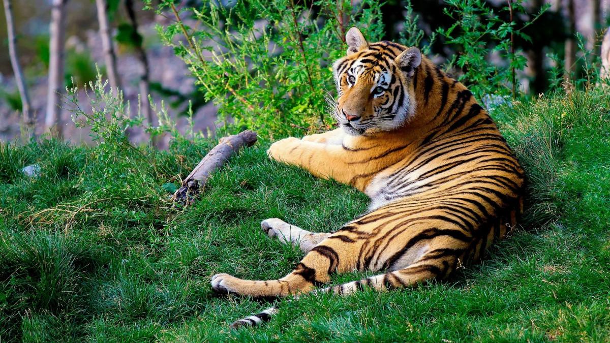 Makhluk Mitologi Cindaku, Manusia Harimau Penjaga Hutan Kerinci Jambi