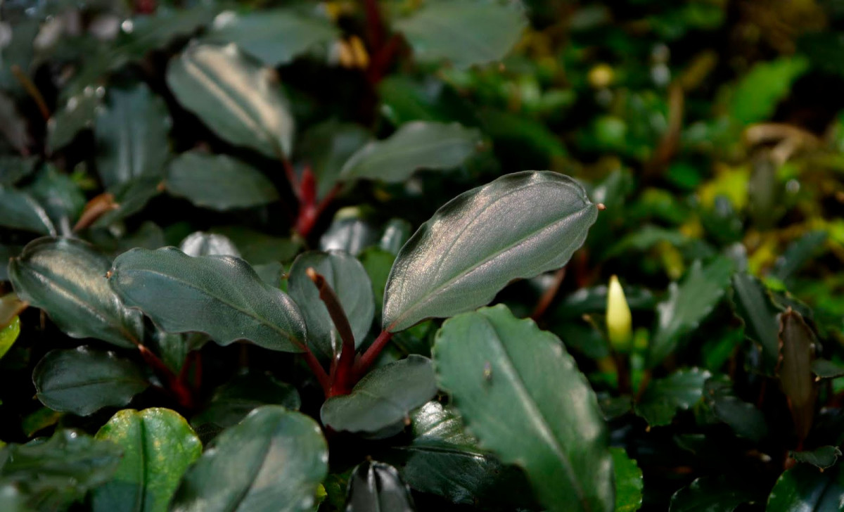 Mengenal Bucephalandra, Tanaman Air Endemik Kalimantan yang Jadi Primadona Akuaskap