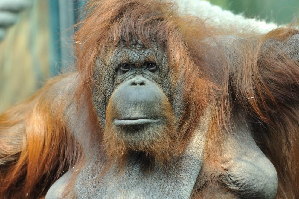 Kebun Binatang Ménagerie du Jardin des plantes Sambut Kedatangan Java