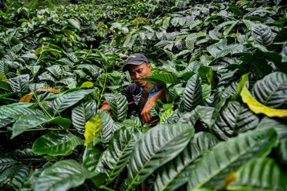 Menuai Lestari dari Harumnya Biji Kopi di Hulu Sungai Ciliwung