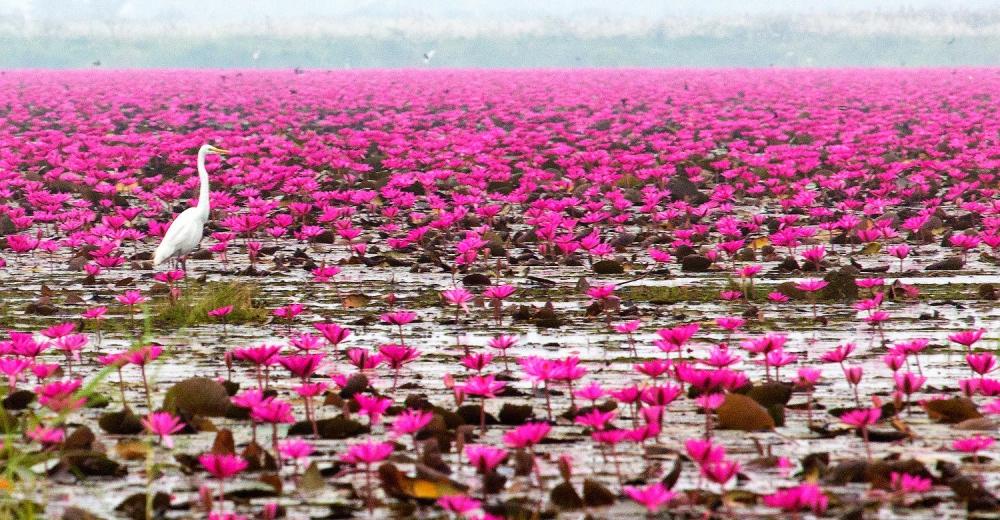 Danau Lotus Terbesar di Dunia ada di Indonesia