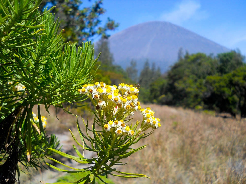 Keindahan Bunga Edelweis Di Kawasan Gunung Bromo Good News From