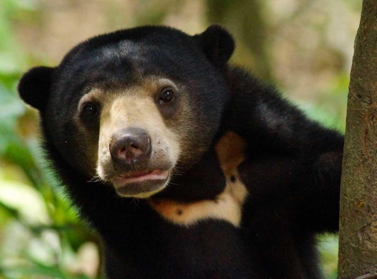 Sun Bear Spesies Beruang Terkecil Di Dunia Yang Ada Di