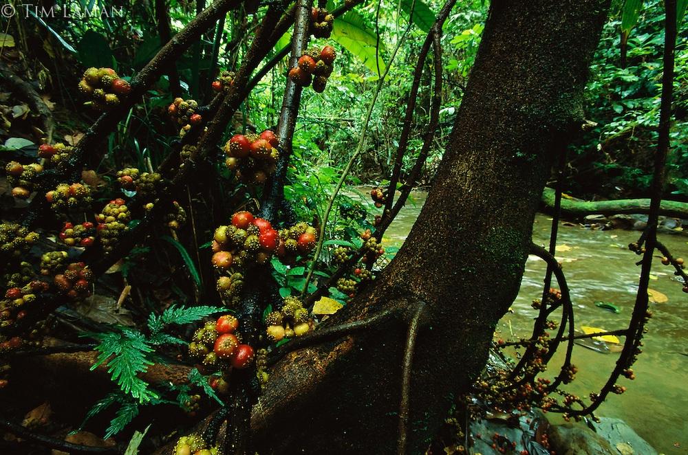 Tak Banyak yang Tahu, inilah Tumbuhan Maskot Sulawesi Utara
