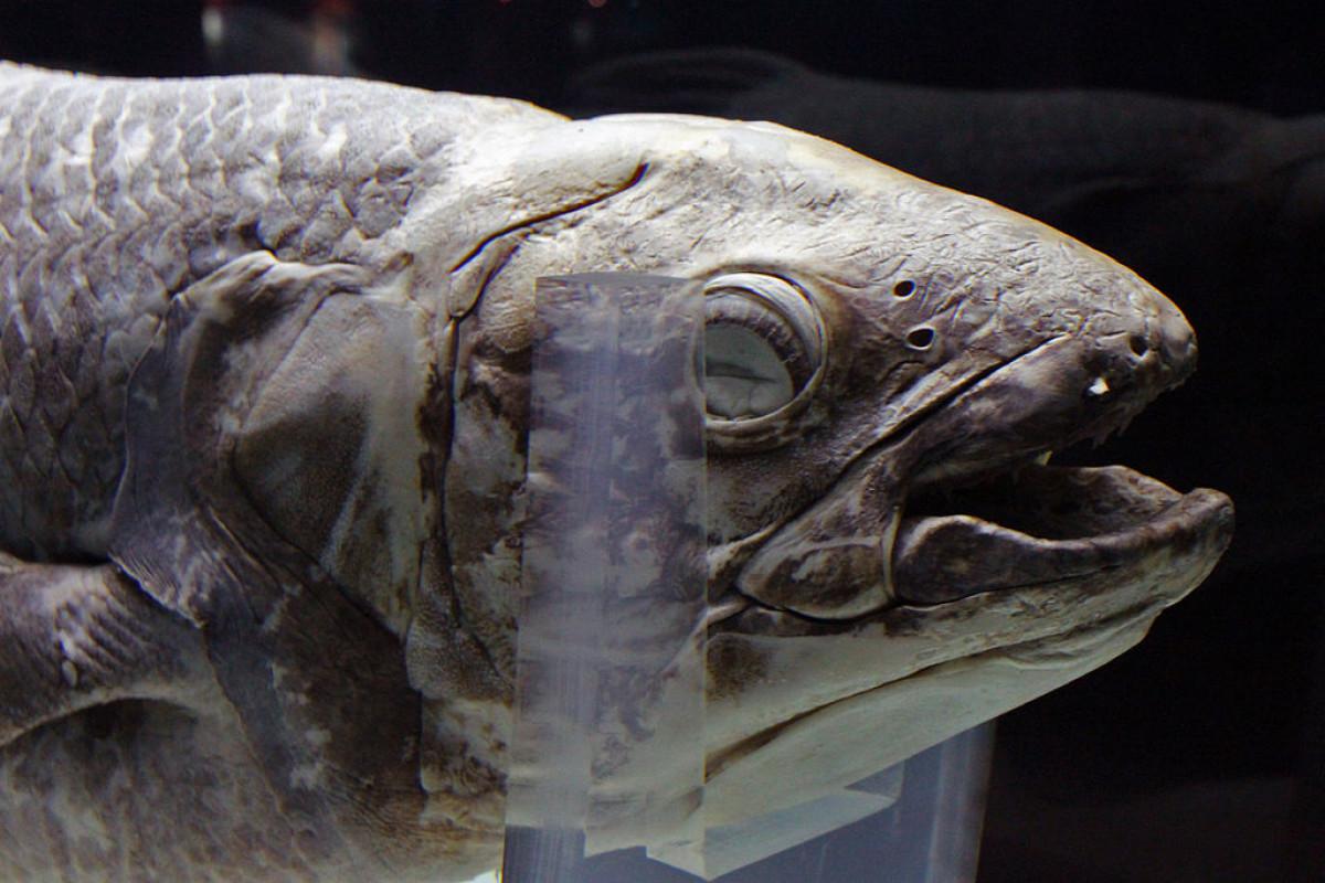 Sejarah Hari Ini (19 Mei 2007) - Penemuan Ikan Purba Coelacanth Ketiga di Manado