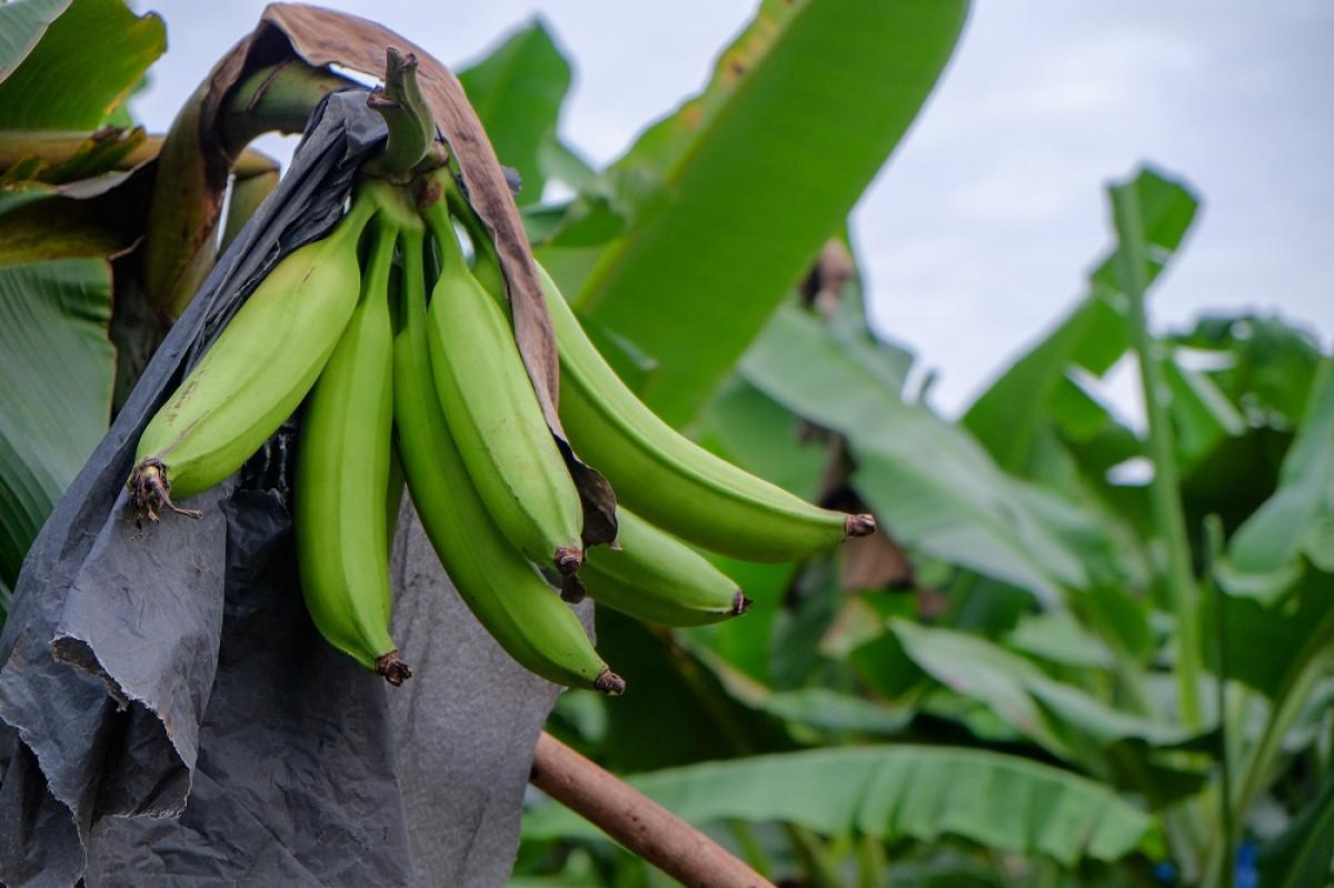 Pisang Impor Lewat, Pisang Agung Semeru Lumajang Lebih Kaya Nutrisi