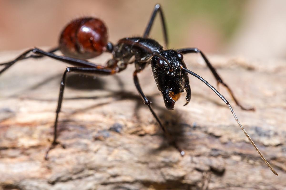 Dinomyrmex gigas, Semut Jumbo Penghuni Hutan Jawa, Sumatra, dan Kalimantan