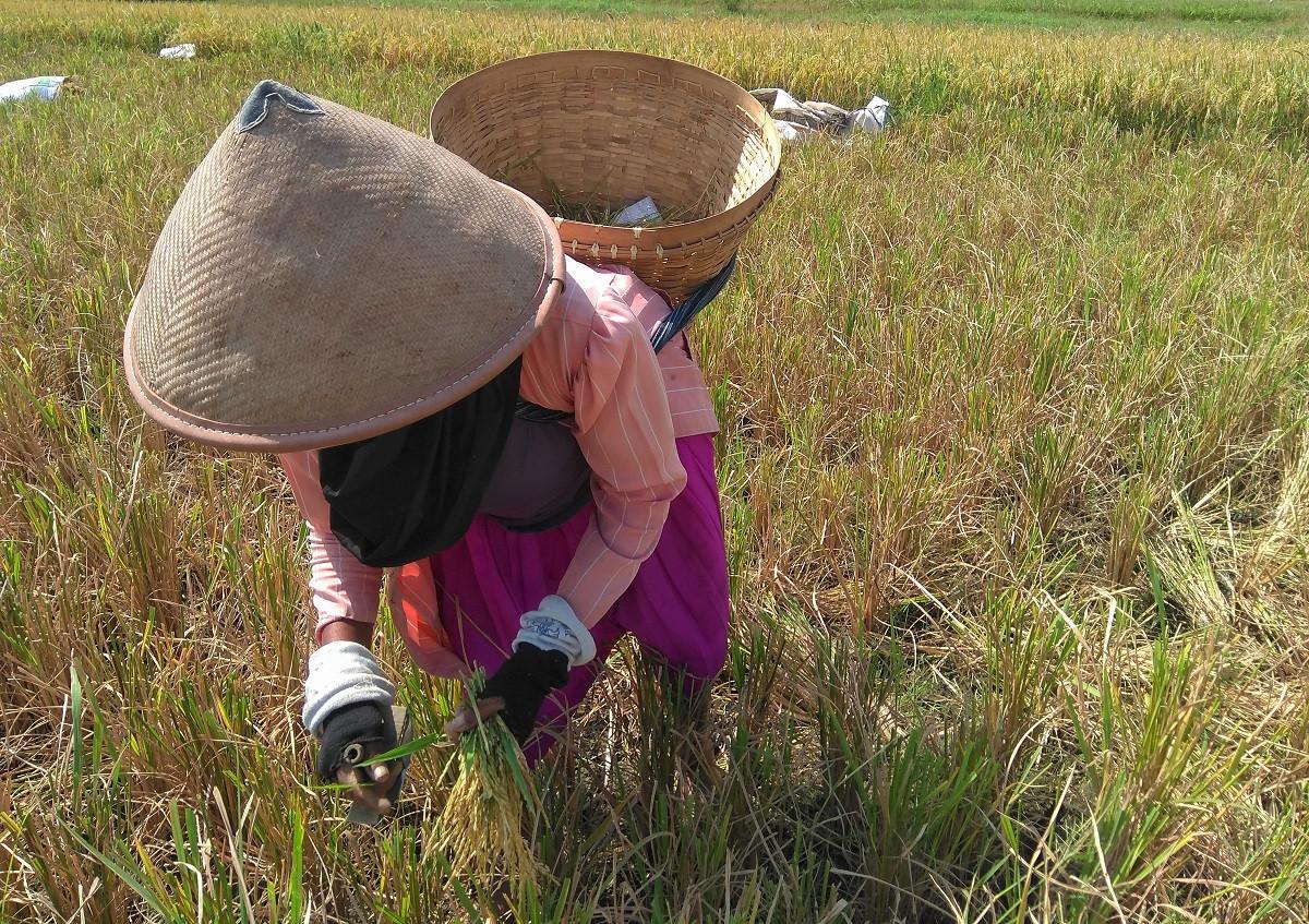 Berkarya Sekaligus Menjaga Tradisi Lewat Festival Ngani-ani Delanggu