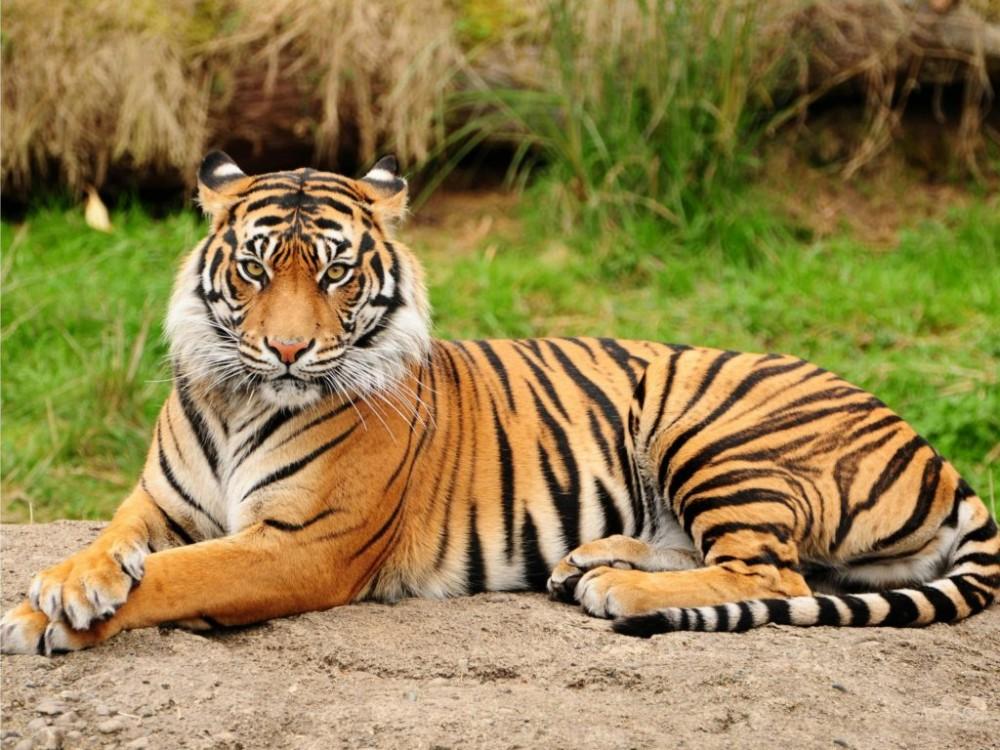 Hasil gambar untuk harimau sumatera