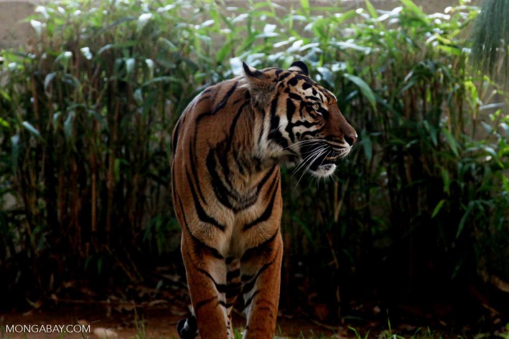 Lanskap Sembilang: Mangrove, Harimau, dan Harapan Nyata Masyarakat