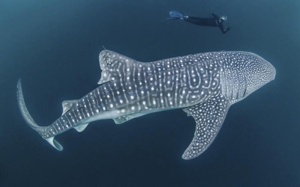 Mengenal Ikan Terbesar Di Dunia Sang Hantu Penghuni Perairan Indonesia Good News From Indonesia