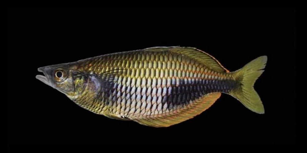 Ditemukan, Ikan Pelangi dari Papua