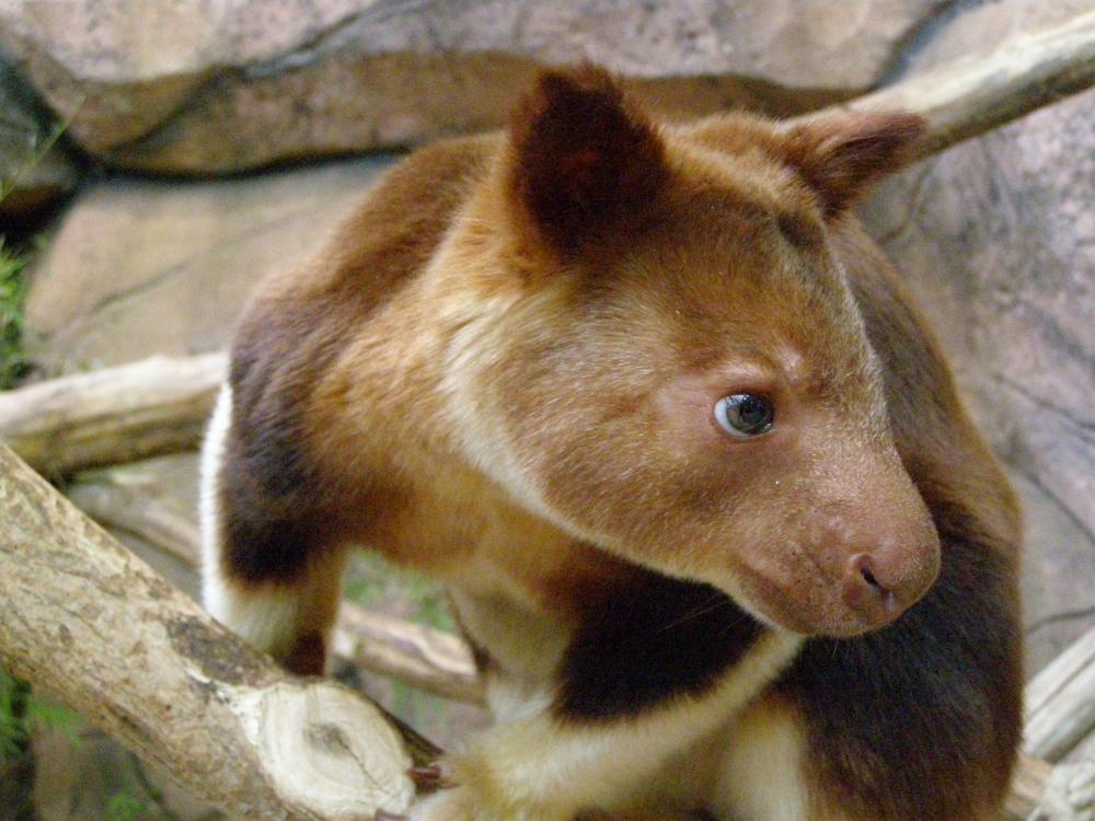 Inilah Berbagai Jenis Kanguru di Hutan Papua