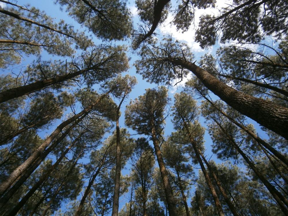 Pesona Hutan Pinus Mangunan