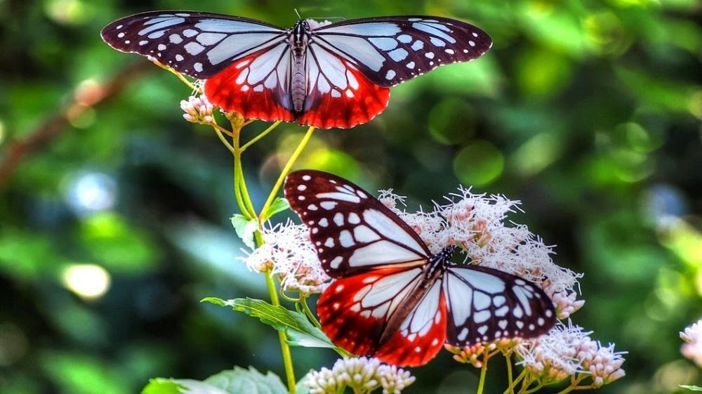 Kupu-kupu Terbesar di Dunia Ada di Indonesia