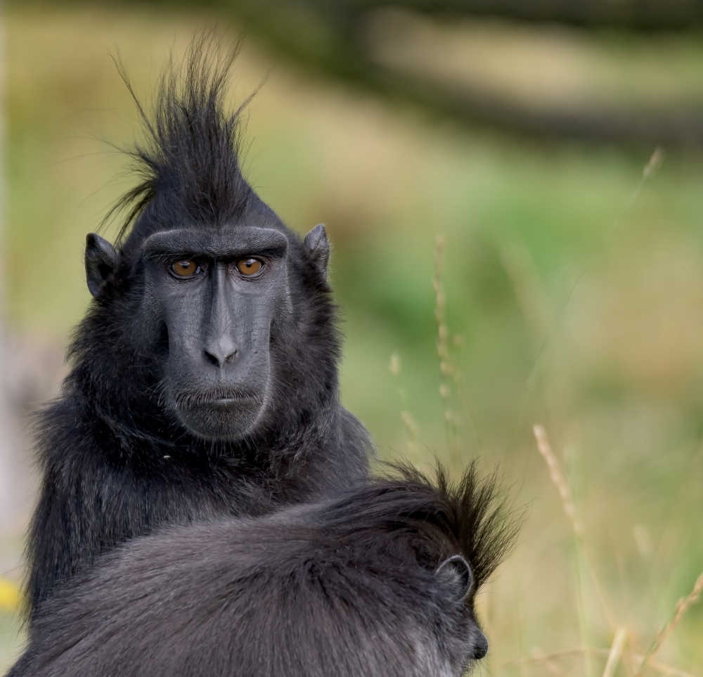 Monyet Rambut Punk ini Adalah Satwa Asli Indonesia