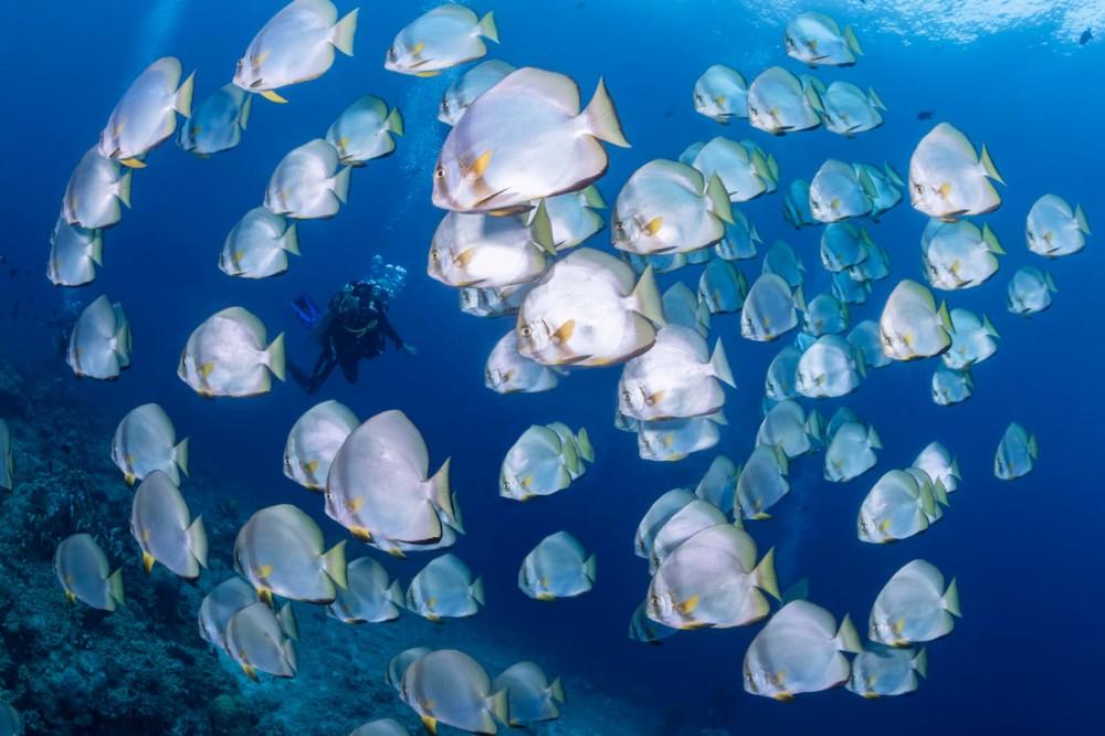Foto: Batfish, Bukan Kelelawar Biasa