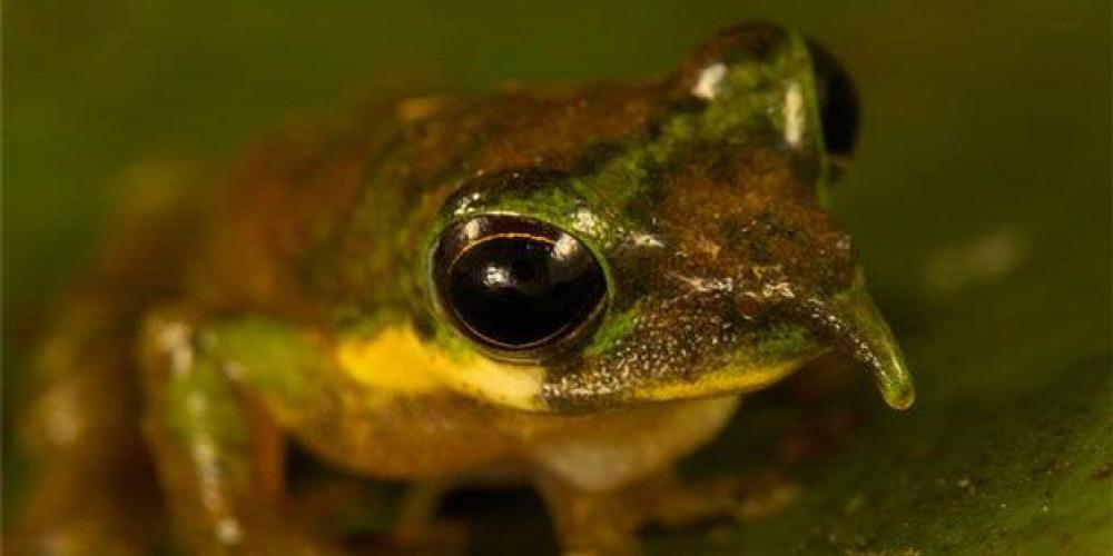 'Pinocchio' Frog Found