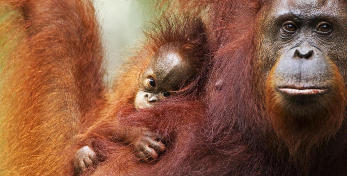 Patut Dilindungi, Mari Mengenal Tiga Spesies Orang Utan yang Ada di Indonesia