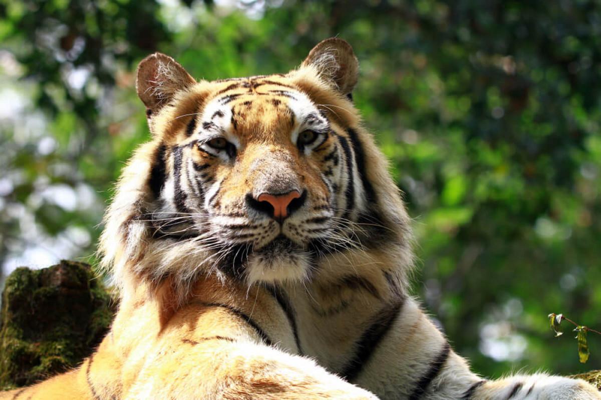 Harimau Sumatra dan Peradaban Masyarakat Sumatra yang Sakral