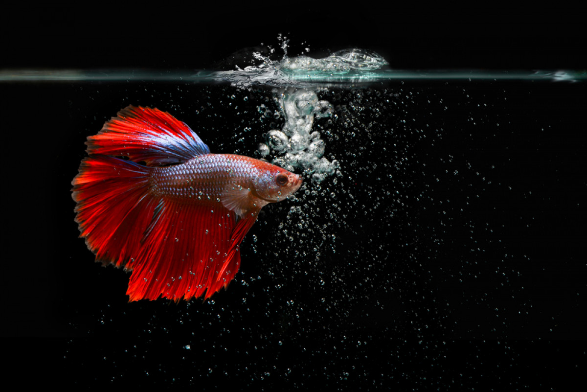 Mengenal Jenis Ikan Cupang Asli Indonesia yang Diburu Kolektor Dunia