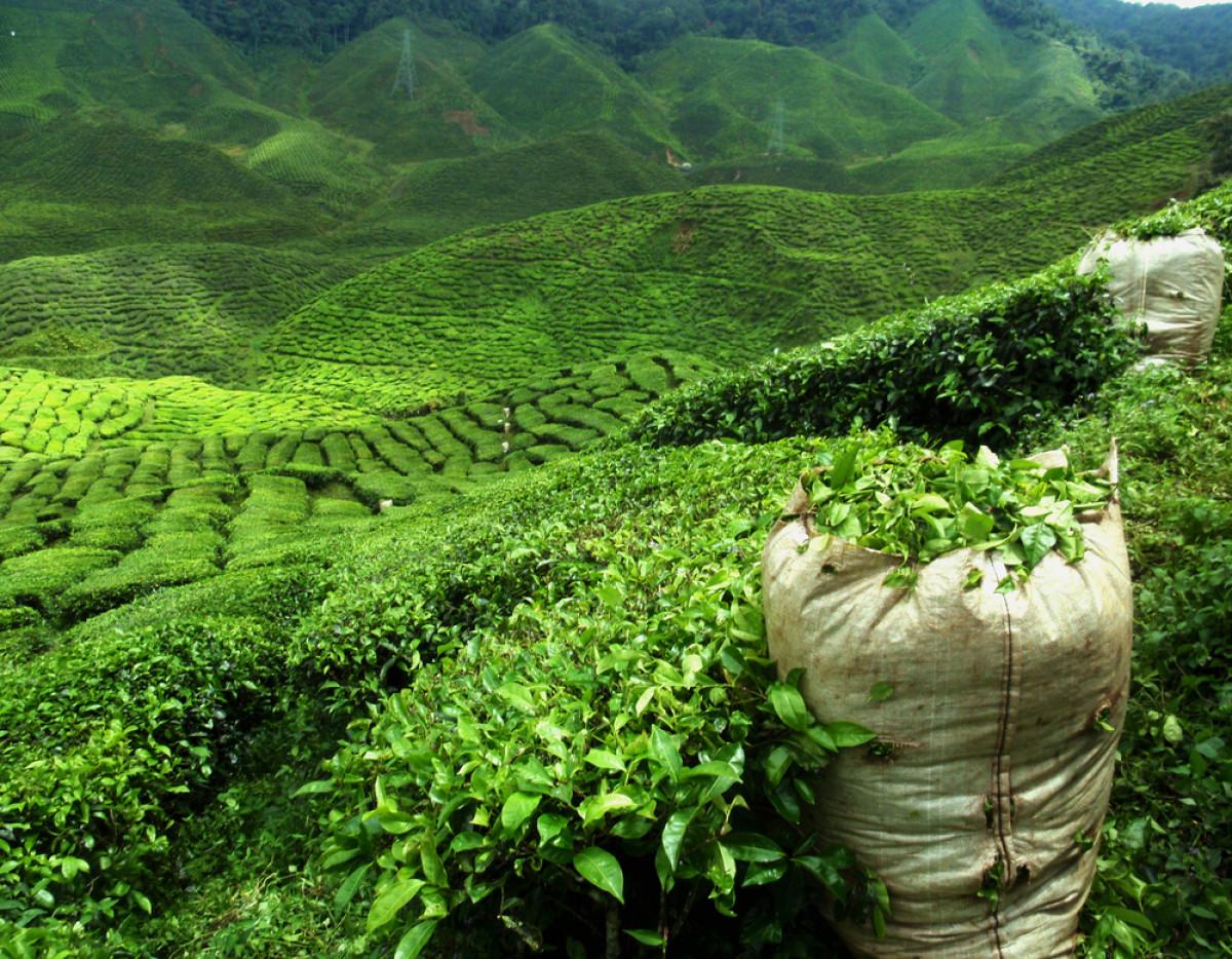White Tea, Mengapa Bisa Menjadi Teh Termahal dari Indonesia?