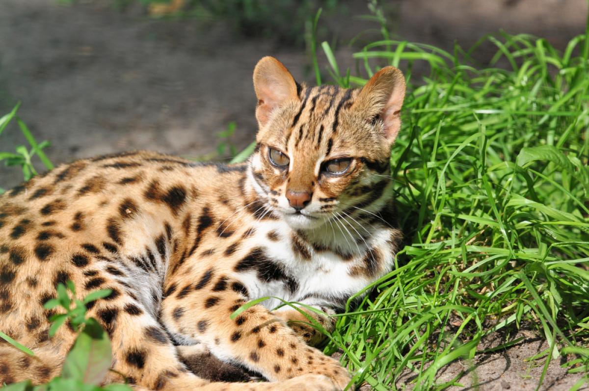 Mengenal 5 Kucing Hutan Nan Eksotis di Sumatra yang Terancam Punah