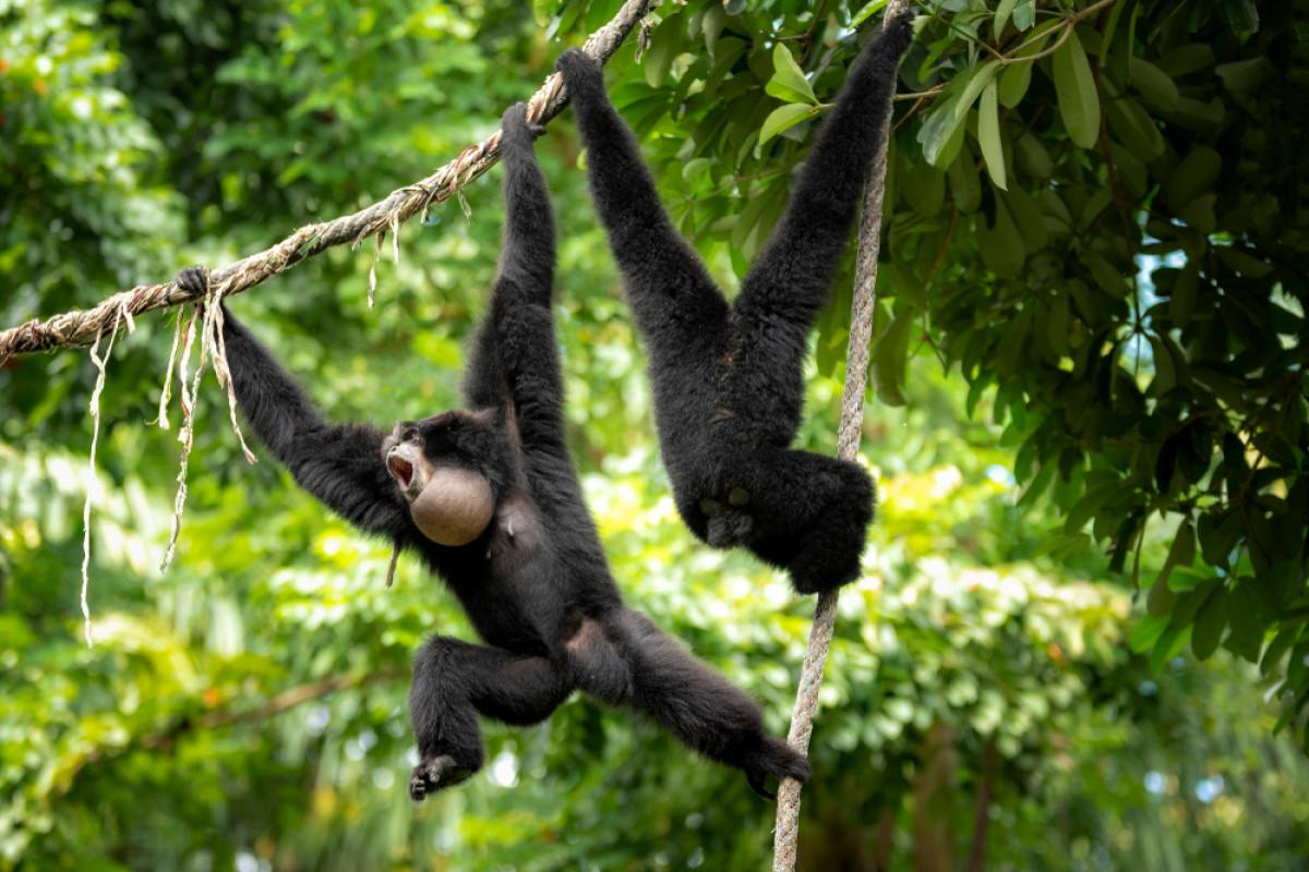 Terancam Punah, Ini 4 Primata Endemik yang Menghuni Kepulauan Mentawai
