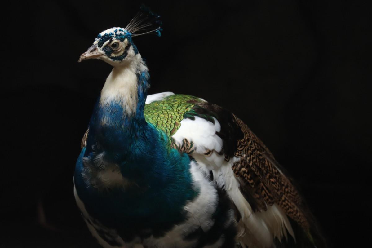 Kuau Raja, Burung Berjuluk '100 Mata' dengan Suara yang Terdengar Hingga Ratusan Meter