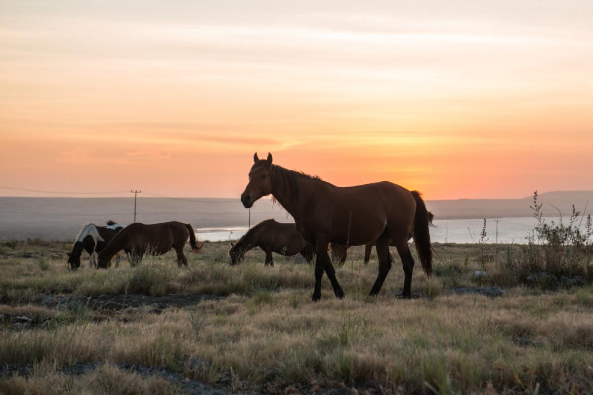 Sandalwood Pony, Kuda Pacu Sumba yang Melegenda