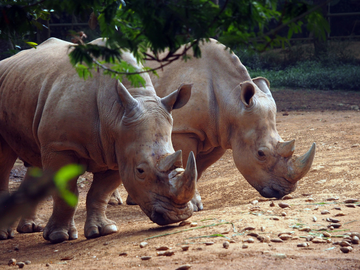 Menjaga Kelestarian 2 Spesies Badak Langka yang Hanya Ada di Indonesia