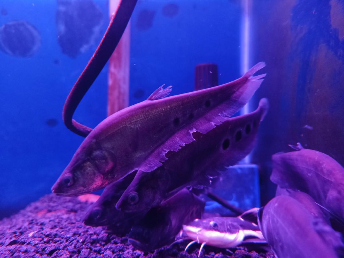 Ikan Belida, Bahan Baku Pempek yang Kini Populasinya Mengkhawatirkan